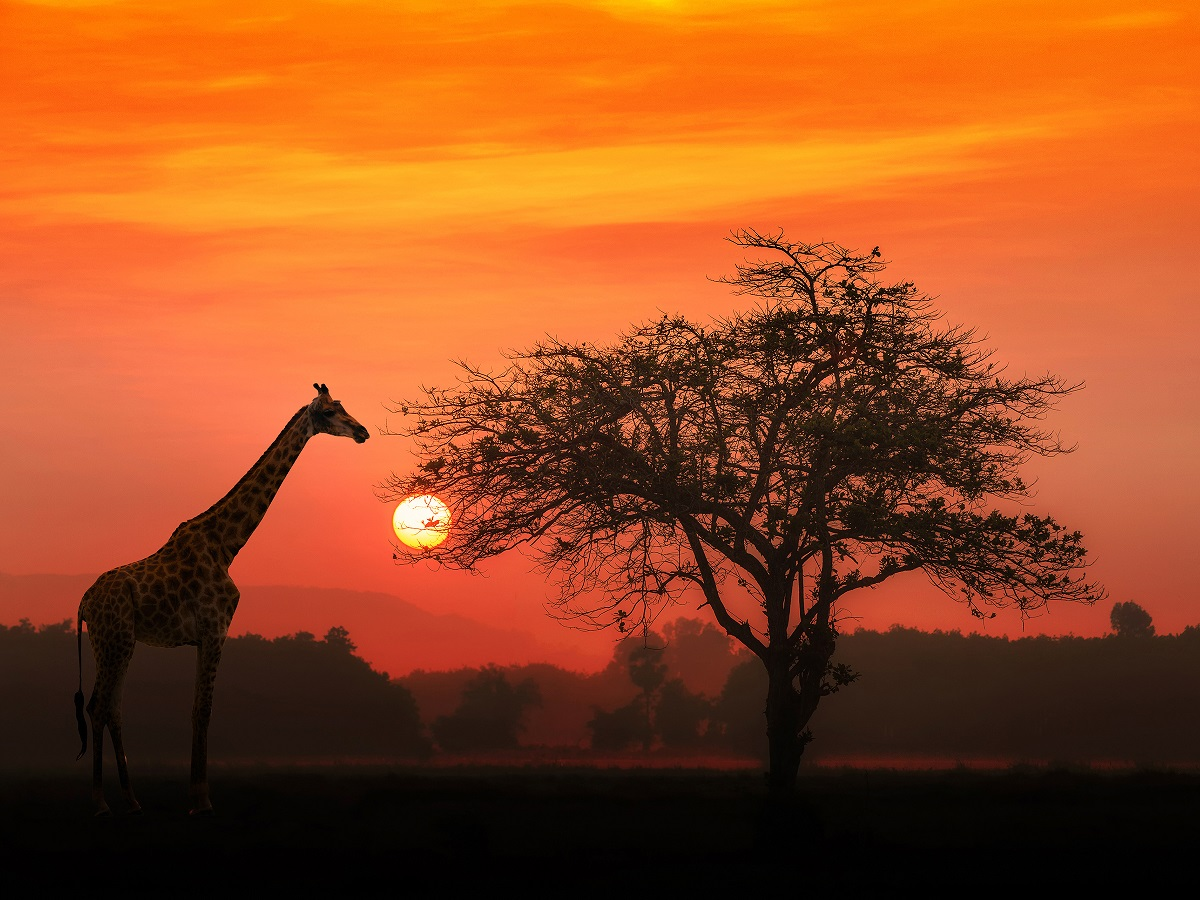 Silhouette of a Giraffe standing next to a tree in the sunset. One of many Guided Tour experiences.